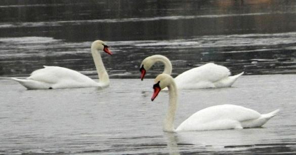 Рятувальники визволили лебедів із крижаного полону