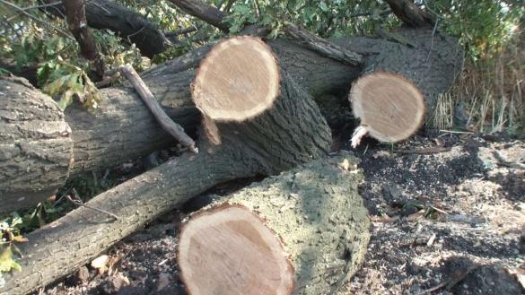 На Черкащині незаконно вирубали дерев на майже 65 тисяч гривень