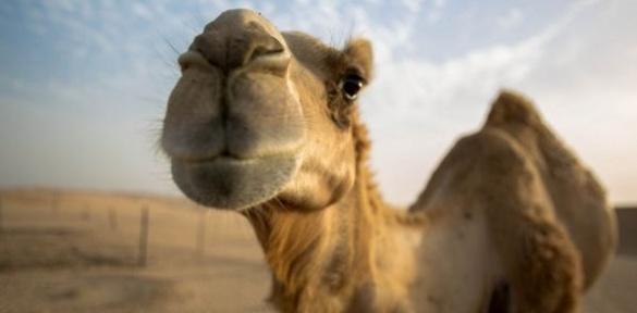 У черкаському супермаркеті заколядував верблюд (ВІДЕО)