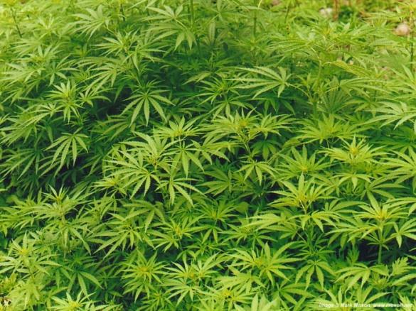 На Черкащині чоловік вирощував на городі коноплю