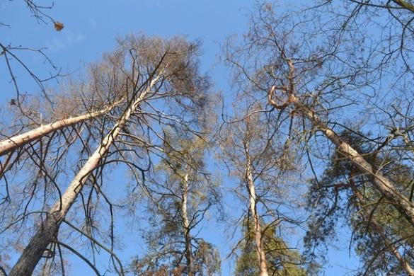 На Черкащині вирубають 150-літні дерева
