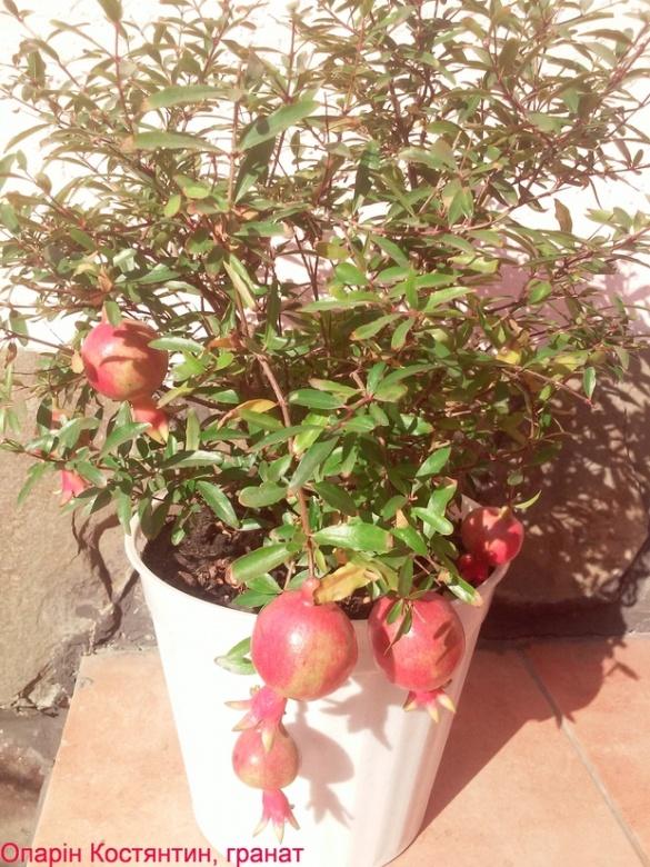 Черкащанин у себе вдома вирощує каву, маракуйю та евкаліпт (ФОТО)