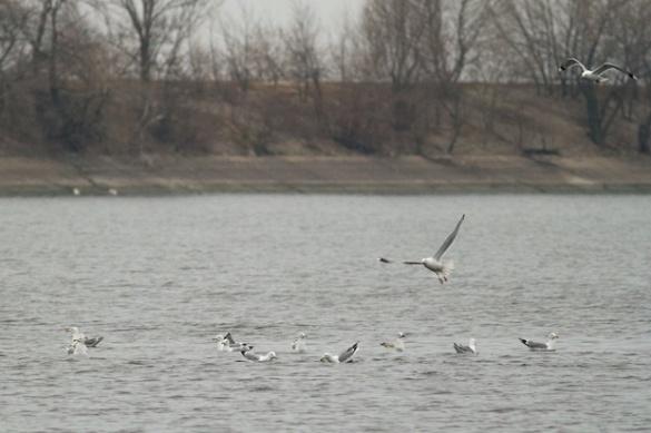 На черкаський Дніпро прилетіли диво-птахи (ФОТО)