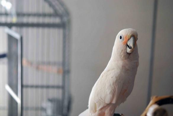 Пташеня какаду із Черкас віддадуть столичному зоопарку
