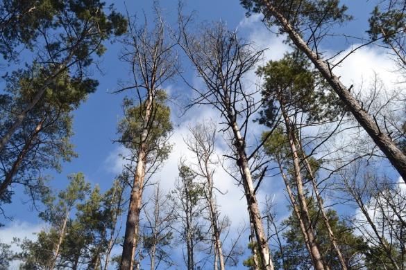 На Черкащині всихає близько 15 гектарів лісу