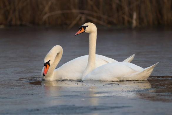 На Черкащині зафіксували неймовірних лебедів (ФОТО)