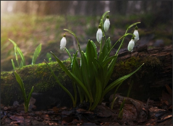 Черкащини їздять до Холодного Яру, щоб побачити квіткове диво (ФОТО)
