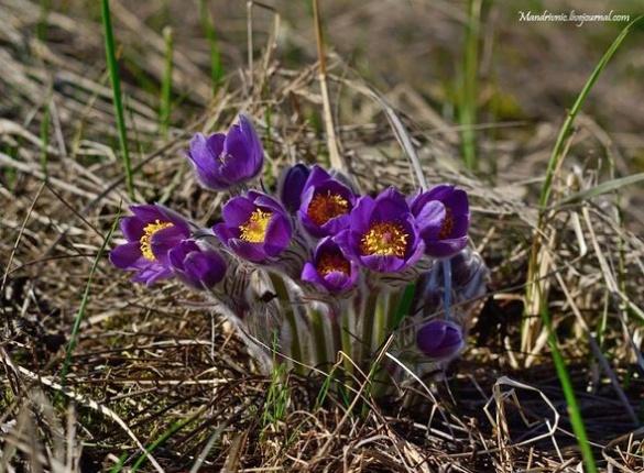 Черкаський фотограф показав довершеність весняних квітів (ФОТО)
