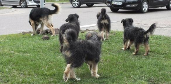 Черкасами бігають зграї собак (ВІДЕО)
