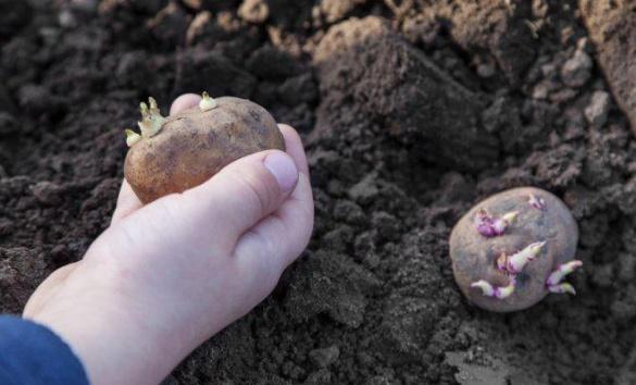 Класні думки черкащанки про садіння картоплі, після яких точно захочеться на город