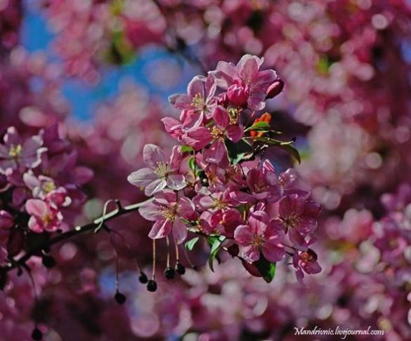 Рожева краса: у мережі показали ніжні фото яблуневого цвіту