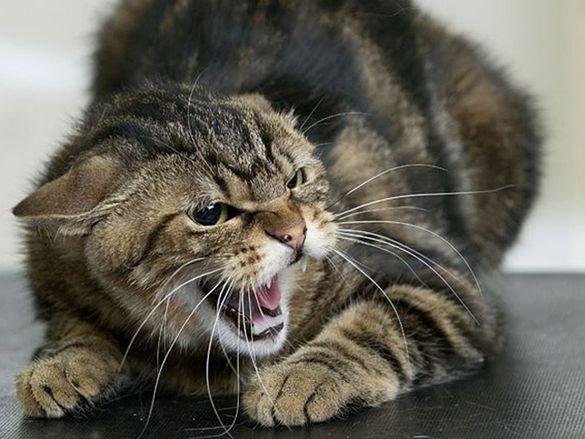 В Черкаській області скажений кіт покусав жінку