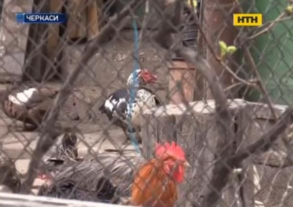 Під стінами черкаської багатоповерхівки з'явилася птахоферма (ВІДЕО)