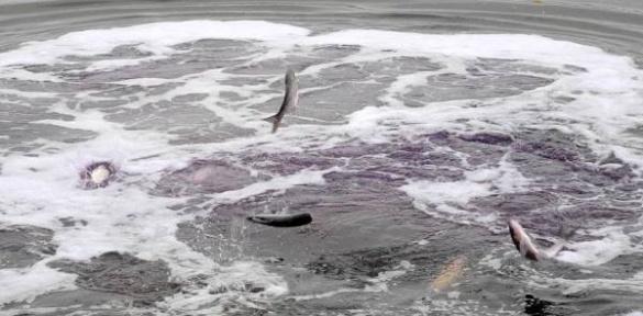 Під Черкасами у Дніпро випустили перші тонни риби
