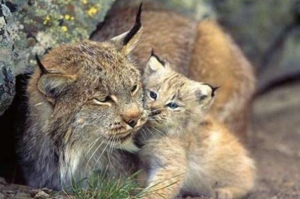 У Черкаському зоопарку народилося дитинча рисі