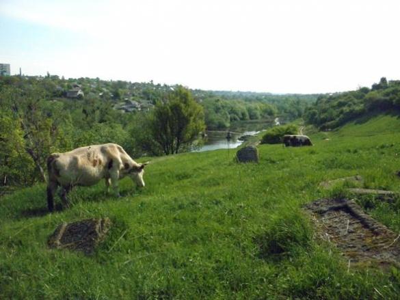 На Черкащині люди випасають корів прямо посеред кладовища