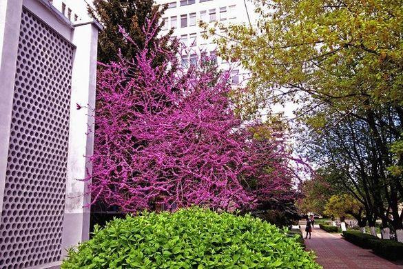 Екзотичне дерево розквітло на подвір'ї черкаського вишу (ФОТО)