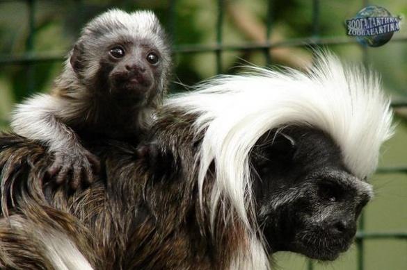 У Черкаському зоопарку народилося мавпеня