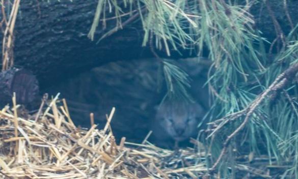 Як про новонароджене рисеня з Черкаського зоопарку піклується його мама