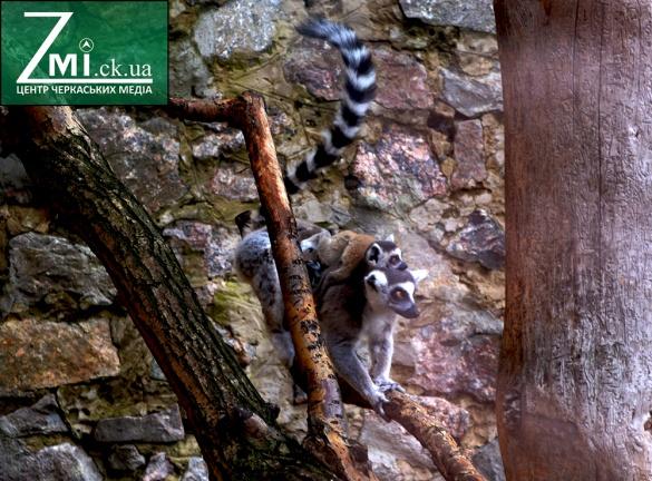 Злодії прирекли маля лемура з черкаського зоопарку на загибель