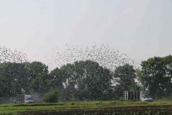 Декілька тисяч голубів одночасно пролетіли над Черкащиною