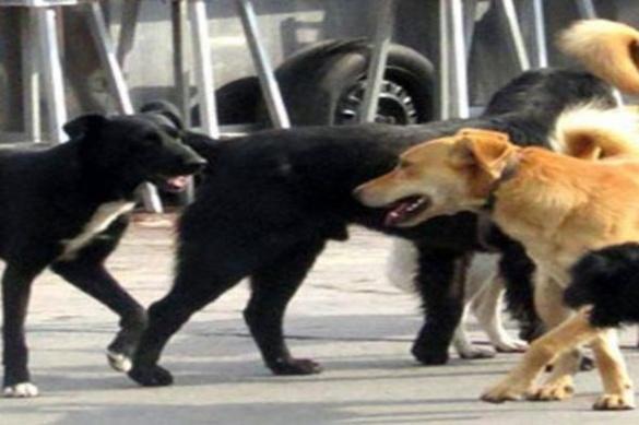 У Черкасах собаки-безхатьки нападають на містян