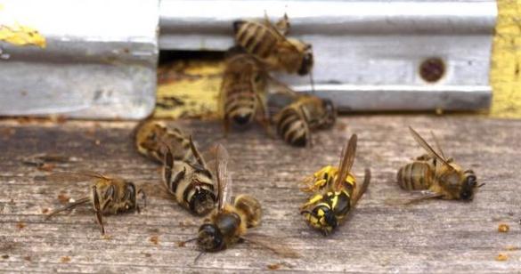 У трьох селах на Черкащині протягом однієї ночі вимерли всі бджоли (ВІДЕО)