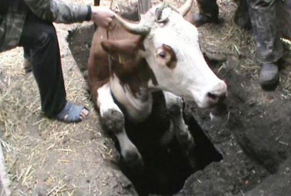 Як черкаські рятувальники діставали з триметрової ями корову