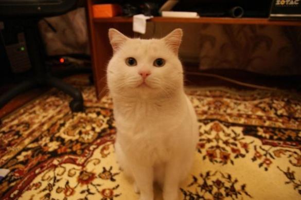 У Черкасах розшукують зниклого кота Адольфа