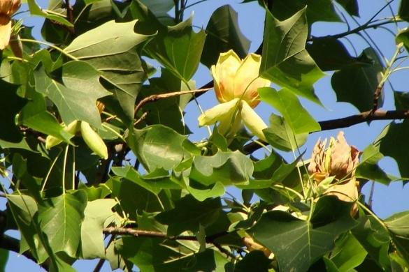 На Черкащині квітує незвичайне дерево (ФОТО)