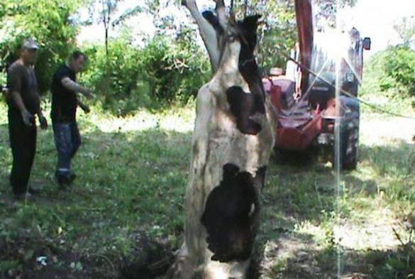 На Черкащині у яму знову впала корова