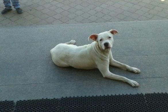 Власника загубленої породистої собаки розшукують у Черкасах