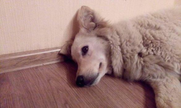 У Черкасах загублена собака чекає на господаря