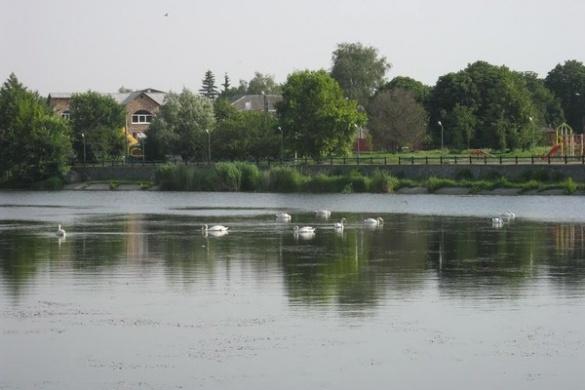 На Черкащині оселилася зграя білих лебедів (ФОТО)