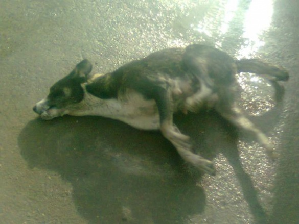 На базі ОПС у Черкасах невідомі потруїли десятки собак