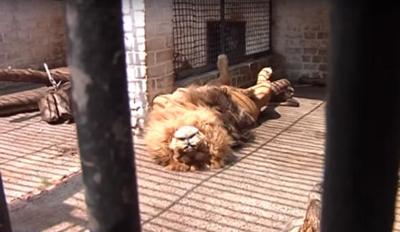 Мешканців Черкаського зоопарку рятують від спеки морозивом та холодними обливаннями (ВІДЕО)