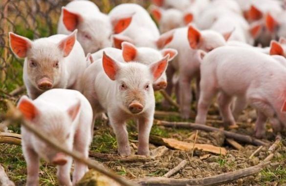 На Черкащині виявили понад півтисячі свиней, заражених африканською чумою