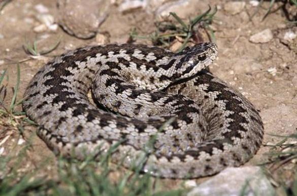 Звенигородське кладовище кишить зміями