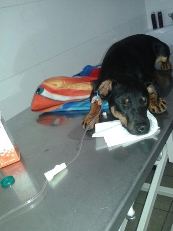 В Умані невідомі скоїли масове отруєння собак