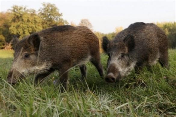 На Черкащині дикі кабани атакують врожаї місцевих жителів