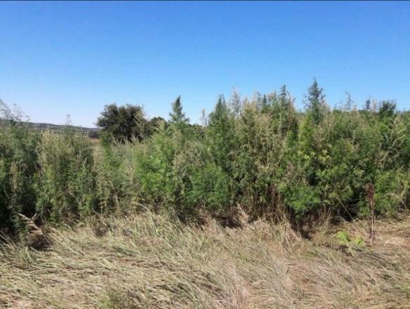 На Черкащині правоохоронці знищили плантацію марихуани (ВІДЕО)
