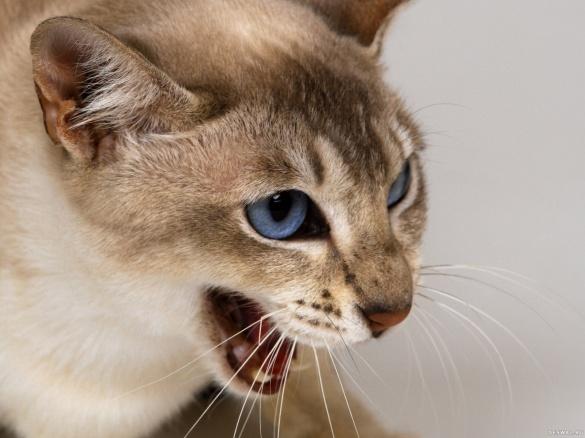 Хвора на сказ кішка покусала двох черкащан