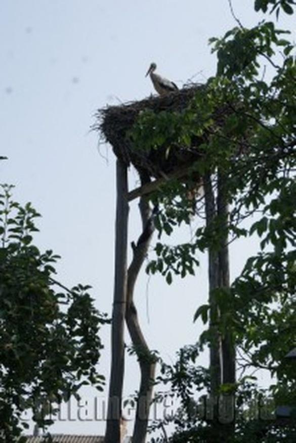 У дворі смілянина майже півсторіччя живе сімейство лелек