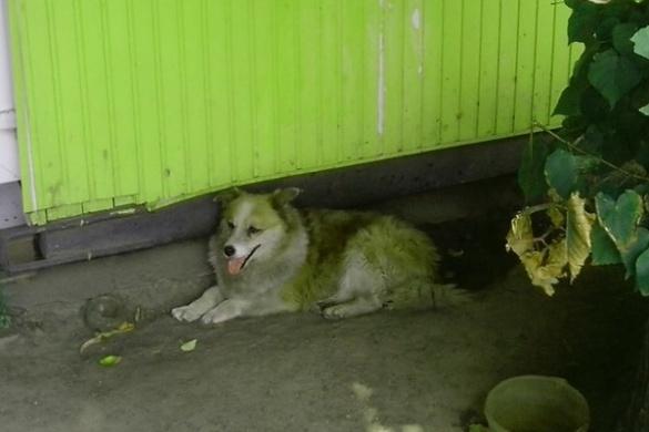 У Черкасах безпритульний пес стежить за порядком на дорозі
