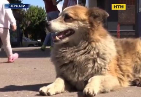 У Черкасах безпритульний собака стежить за порядком на дорозі (ВІДЕО)