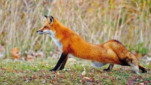 Скажені лиси