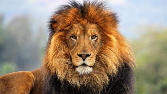 Леви стали сусідами містян в одному з мікрорайонів Черкас (ВІДЕО)