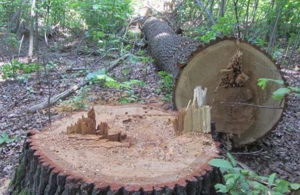 На Черкащині невідомі вирубали лісосмугу на дрова