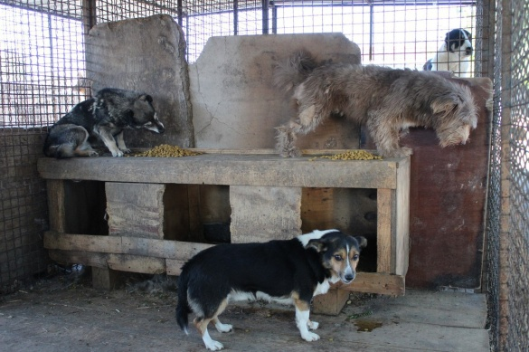 Черкаському притулку для собак необхідна допомога черкащан