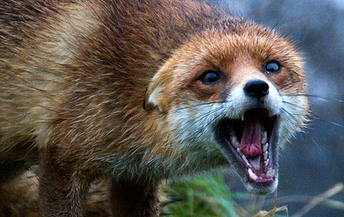 На Тальнівщині на собаку напала скажена лисиця